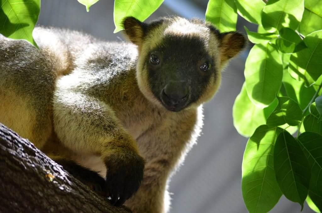 Parque-Daintree-kangaroo
